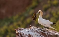 so proud (ciwi.photography) Tags: gannet basstölpel bastölpel northerngannet helgoland nordsee nordseeinsel rock cliff felsen seaweed