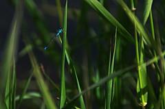 Northern Bluet Damselfly (Bracus Triticum) Tags: northern bluet damselfly insect アルバータ州 alberta canada カナダ 6月 六月 水無月 rokugatsu minazuki monthofwater 2017 平成29年 summer june