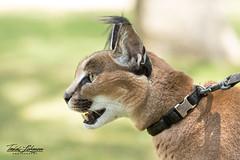 Kasten the Caracal (ToddLahman) Tags: kasten caracal animal animalambassador mammal portrait photooftheday beautiful sandiegozoosafaripark safaripark canon7dmkii canon canon100400 closeup cat african