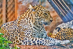 (Aiel) Tags: leopard indianleopard pantherapardusfusca pantherapardus panthera trivandrum thiruvananthapuram zoo thiruvananthapuramzoo canon60d tamron70300vc