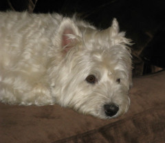 "7/12B ~ ""Riley misses his Dad"" (ellenc995) Tags: riley westie westhighlandwhiteterrier 12monthsfordogs17 sorrow grieving thegalaxy rubyphotographer thesunshinegroup coth fantasticnature alittlebeauty sunrays5 coth5 abigfave supershot challengeclub 100commentgroup"
