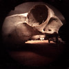 sheep skull (pho-Tony) Tags: pinhole bierettepinhole world photography day wppd worldpinholephotographyday