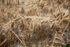 """""""Le blé, qui est doré, me fera souvenir de toi. Et j'aimerai le bruit du vent dans le blé..."""" (Le Petit Prince, Antoine de Saint-Exupéry.) (Brigitte .. . """"Tatie Clic"""") Tags: 2017070410 juillet été blé épi soirée soir agriculture champ macro"""