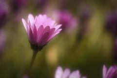 Love (shawn›raisin d+p) Tags: 100mm canon6d osteospermum shawnwhite beauty bokeh charm dream dreamy enchanting flower gentle idyllic peaceful photonasticresponse reflective romantic spring