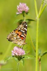 Papillon Belle-Dame / Painted Lady butterfly (Pierre Lemieux) Tags: villedequébec québec canada papillon belledame paintedlady butterfly vanessacardui cosmopolitan trèfle fleur flower