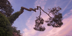 perché sur ma falaise (fbesrest) Tags: pinbono morbihan chemin cotier pinus arbre tree bretagne nikonflirckaward nikon landscape flickrunitedaward flicrkaward nikonflickraaward france