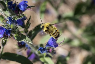 Yellow-fronted Bumble Bee on Viper's Bugloss