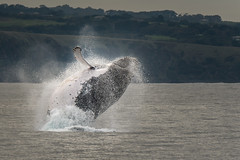 In Celebration ! DSC_0462 (BlueberryAsh) Tags: august2016 breaching breachingwhale humpbackwhale phillipisland whale whalecruise ocean tamron150600 nikond750