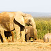Big Elephants drinking water together