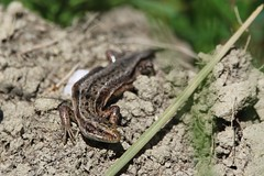 (Zatanen) Tags: ödla lizard lisko lacerta zootocavivipara viviparous commonlizard skogsödla lagarto waldeidechse lézard reptiles