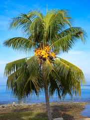 coconut tree palm cocos nucifera kokospalme kokusnuss palme beach scenery scenic landscape landschaft pulau tioman pahang malaysia asia malaysien asien nature natur