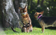 Personal space is over rated.. (lisheeny) Tags: cat feline bengal marbled dog chihuahua canine pet animal littledoglaughedstories