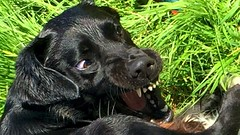 Playful, honest ! (Heaven`s Gate (John)) Tags: pepper dog pet play playing grass field johndalkin heavensgatejohn rough nature vicious teeth wild eyes playful