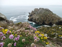 Coastal flora! (rockwolf) Tags: flora flowers wildflowers fleurs coast cliffs rocks sea lechateaudedinan pointededinan presquiledecrozon finistère bretagne brittany france 2017 rockwolf