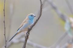 Blue Waxbill (Uraeginthus angolensis), Kruger National Park, Mpumalanga, South Africa (Daniel J. Field) Tags: bluewaxbill uraeginthusangolensis kruger national park krugernationalpark