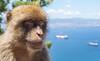 Berberaffe -  Upper Rock/ Gibraltar (Barbary macaque) (FH | Photography) Tags: gibraltar uk europa upperrock naturschutzgebiet tier affe frei barbarymacaque macaca sylvanus barbaryape magot fell sitzen gesicht menschenaffe sehenswürdigkeit berberaffen berberäffchen macaque primat altweltaffen poser