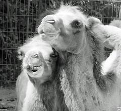ha, ha, ha, lustig (auschmid) Tags: auschmid slta99 sal135f18z kallnach johnskleinefarm schweiz switzerland tierpark streichelzoo haustiere trampeltier camel za animal sonnart18135 nature