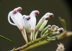 Emerging grevillea (LSydney) Tags: grevillea grevillealinearifolia flower wildflower macro manlydam