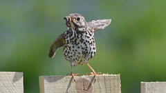 Song Thrush (KHR Images) Tags: song thrush songthrush turdusphilomelos chatsandthrushes turdidae wild bird worm elgol isleofskye western scotland scottish wildlife nature nikon d500 kevinrobson khrimages