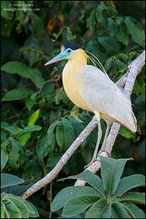Capped Heron (Pilherodius pileatus) (Glenn Bartley - www.glennbartley.com) Tags: animal animalia animals atlanticrainforest aves avian bird birdwatching birds brazil cappedheronpilherodiuspileatus glennbartley nature neotropical pantanal rainforest southamerica wildlife