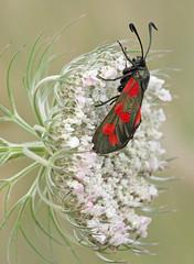 Six spot Burnet moth on Wild Carrot (Alan MacKenzie) Tags: moth macro nature close wildlife sussex unitedkingdom red spots