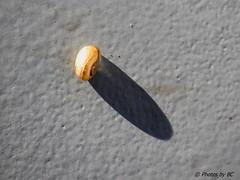 Snail catching some sun. (~~BC's~~Photographs~~) Tags: bcsphotographs canonsx50 snail greenriver ferry mammothcavenationalpark kentuckyphotos summer closeups shadows outdoors naturephotos ourworldinphotosgroup earthwindandfiregroup explorekentucky