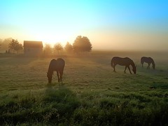 Horses at sunrise (Tobi_2008) Tags: pferde horses tiere animals natur nature wiese himmel sky sachsen saxony deutschland germany allemagne germania