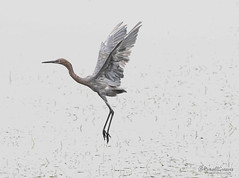 _J3A8761 7D Mark ll Tamron 150-600mm G2 Reddish Egret (greaves_russell) Tags: bigmorongocanyonpreserve boxcanyonrd nature animals tattoodesigns tattoos fitness travel sprint overstock people music flickr dancingwiththestars games oops bing foxnews espn cars target bestbut bolsachicawetlands wildlife jobs locations typesofclothing professions days hours minutes dog cat fish bird cow moon world earth forest sky plant wind flower amazon ocean river mountain rain snow tree sanjoaquin anzaborrego huntingtonbeach disneyland knottsberryfarm sandiego forsterstern