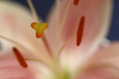 Lily _2379 (Barrie Wedel) Tags: lily petal pollen pistil stigma style stamens anther filament sepals dof flower nature naturephoto closeup macro macrophotography macrolife closeencounter outdoor tinyworld plant garden plantblossom gardensafari