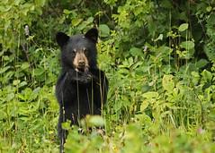 Black Bear cub...#2 (Guy Lichter Photography - 3.5M views Thank you) Tags: canon 5d3 canada manitoba rmnp wildlife animal animals mammal mammals bear bears blackbear cub