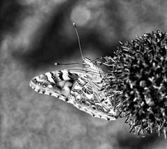 Distelfalter (H - D - O) Tags: papillon butterfly schmetterling distelfalter insekt bw schwarzweis olympusm10 crop silverefex