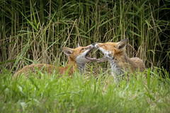 Open Wide and Say Ahhhhhhh (Anthony de Schoolmeester) Tags: fox redfox siblings forestfarm young mouths wideopen wildlife wildanimal fujixt2 fujinonxf1004004556rlmoiswr fuji fujinonxf14xtcwr
