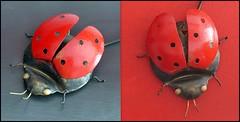 Coccinelle (Thethe35400) Tags: rouge noir coccinelle ladybug mariquita