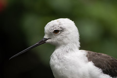 Black-winged stilt (Himantopus himantopus) head in profile (Ian Redding) Tags: asia british european himantopushimantopus recurvirostridae uk animal bird birds blackwingedstilt commonstilt fauna longlegged nature piedstilt stilts wader wading wildlife