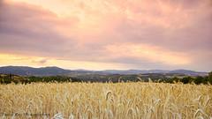_DSC9228L_v1 (Pascal Rey Photographies) Tags: paysages paysage ruralité landschaft landscapes landscape blé wheat champ champêtre horizon nature ardèche photographiecontemporaine photos photographie photography photographierurale nikon d700 luminar sunset aruba abw