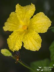 Abeja recolectora de polen (Adolfo Montes) Tags: abeja bee flor flower reservadelabiosferachamelacuixmala chamelacuixmala jalisco méxico