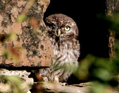 Shy Little Owl. (Colin 2013) Tags: s having good look yo mate