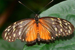 D71_6033 (joezhou2003) Tags: butterfly wild life nature insect tamron 90mm f28 vc 004 nikon d7100 macro photography