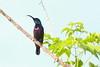 Lotens sunbird (Balaji Bharadwaj) Tags: sunbird lotens pondicherry