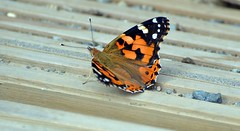 Painted Lady Butterfly (1) (John Carson Essex UK) Tags: thegalaxy thegalaxystars rainbowofnature supersix