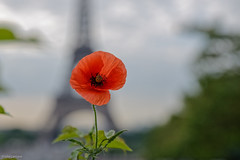 The Poppy (julialarrigue) Tags: eiffeltower toureiffel flower