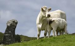 Mom and Calf - Ireland (bobglennan) Tags: ireland cows hills clifden skyroad calf nikond750 nikon green landscape d750 bokeh animalportrait lookingup monolith awww dairycows