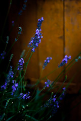 Lavender (gabi_halla) Tags: lavender flower flowers purples sunshine sunlight summer nature dusk blossom blooming bloom golden fleur green light garden