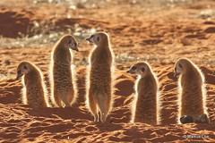 Suricate Bagatelle Namibia (markus lilje) Tags: markuslilje mammal mammals animal animals colonial mongoose suricate meerkat suricatasuricatta sunning morning den burrow backlit