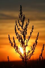 Yet another plant silhouette (Sven Bonorden) Tags: plant pflanze sonne sonnenuntergang sun sunset sundown yellow orange gelb abend evening abendstimmung silhouette schwarz black gegenlicht canon backlight haldegroppenbruch dortmund mengede ruhrgebiet westfalen nordrheinwestfalen deutschland germany