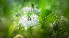 Wild flower - Trioplan Bokeh 2 (Dhina A) Tags: sony a7rii ilce7rm2 a7r2 trioplan 100mm f28 meyeroptiktrioplan100mmf28 meyeroptik meyer optik 15blades m42 circle bokeh bubble wildflower summer