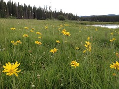 Mellow Meadow (Mr. Happy Face - Peace :)) Tags: art2017 wildflowers nature albertabound wilderness yyc scenery environment canadaparks