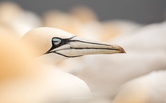 taking a nap (ciwi.photography) Tags: gannets bastölpel tölpel basstölpel gannet hegloland breeding spring frühling flying nest colony bird sleeping tired müde schnabel closedeye northerngannets high key