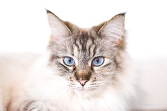 yuko jul17 (mwo_w_GERMANY) Tags: mwoaqwode mario wolff yuko maincoon mix weis weiss blaue augen blau
