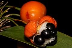 Eustrephus latifolius (andreas lambrianides) Tags: eustrephuslatifolius luzuriagaceae wombatberry australianflora australiannativeplants australianrainforests australianrainforestplants australianrainforestfruitsandseeds australianrainforestseeds australianrainforestfruits arfp qrfp vicrfp arffs orangearffs vrfp arfcp